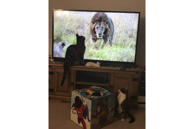 House cats fascinated by big cats on television