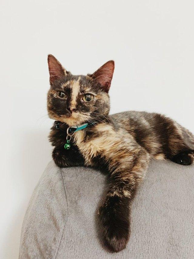 140 Tortoiseshell Cat Names Cuteness