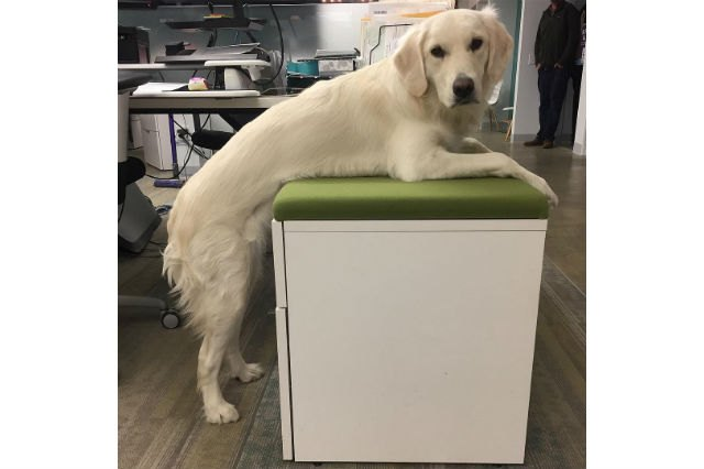 17 Office Dogs Hard At Work Officing