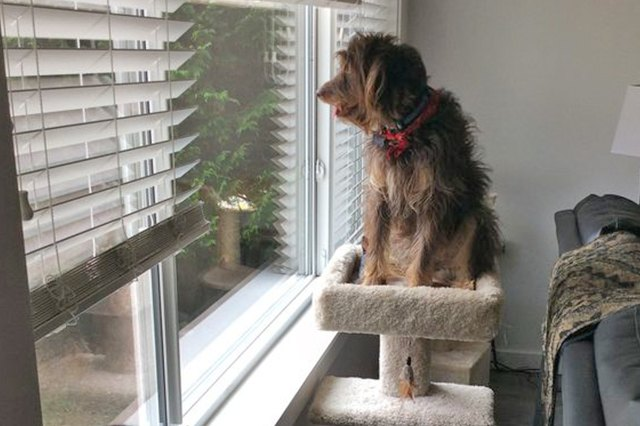 This dog is perched on the furniture just like a cat!