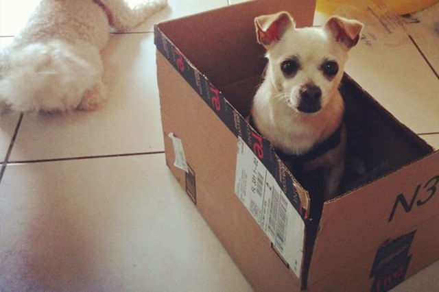 This dog is sitting in a box like a cat!