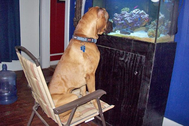 This dog is watching the fish tank like cats do!