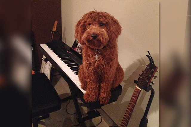 This dog is sitting on the piano like a cat.