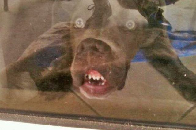 This dog has its face against the glass!