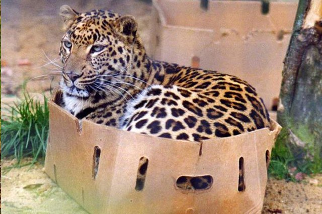 16 Big Cats Who Love Boxes More Than House Cats