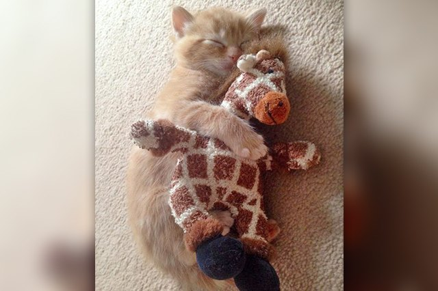 sleeping kitten cuddling toy giraffe