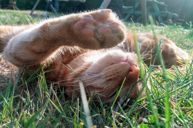 Cat lying in grass with arms outstretched.