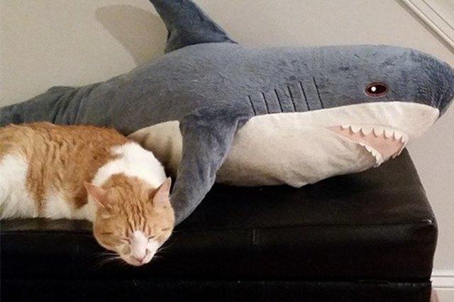 tabby sleeps with shark