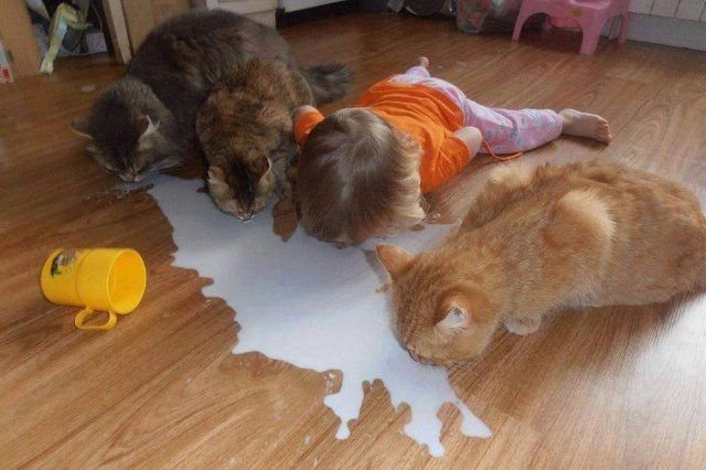 three cats and a baby drinking spilled milk off the floor