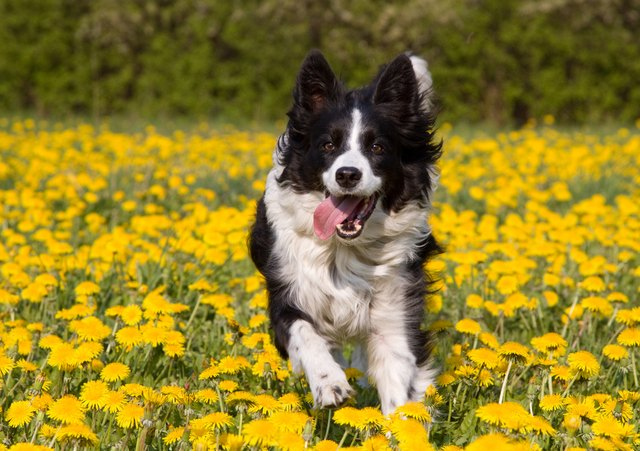 Dog in dandelion field.