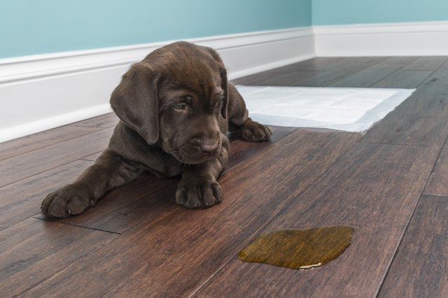 How To Remove Dog Pee Stains Urine Odor From Everything Cuteness - How to eliminate dog urine odor from wood floors