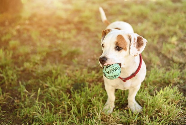 Small terrier dog with ball
