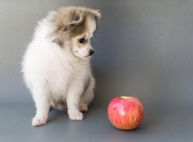 Крупным планом милая Поморская собака, глядя на красное яблоко на сером фоне
