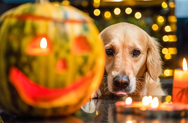 Gorgeous and funny golden retriever dog looking at halloween set with pumpkin and candles