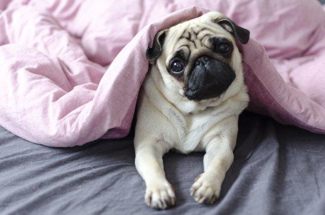 собака породы мопс под розовым одеялом