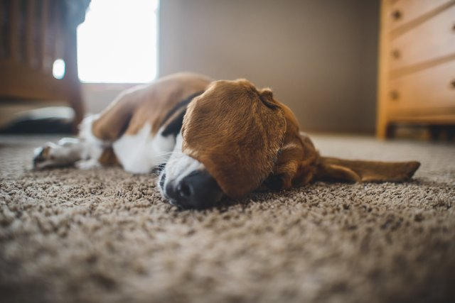 Dog lying on carpet at home