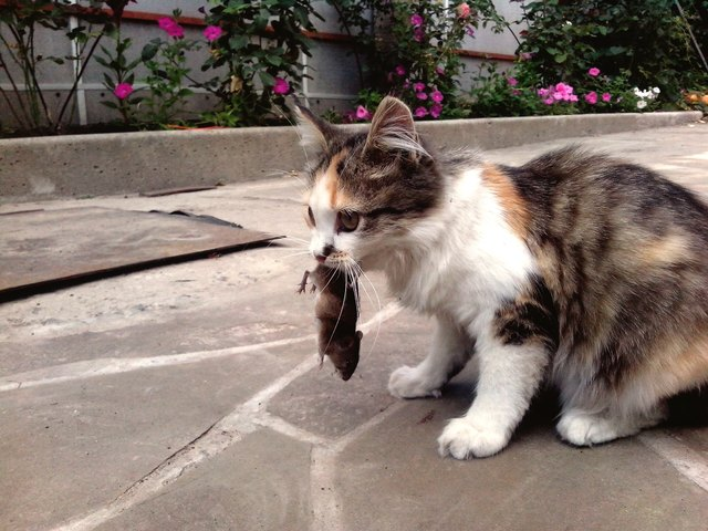 Cat Holding Dead Mouse In Mouth