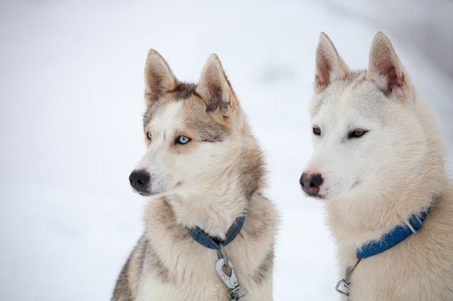 Types Of Husky Dogs Cuteness