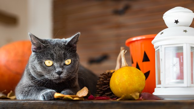 Gorgeous grey cat lying down on a table with Halloween and Autumn themed decorations.
