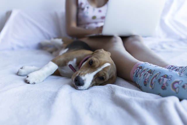 Low section of woman using laptop computer with beagle on bed at home