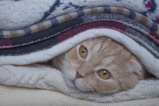 рыжий шотландский кот лежит в одеялах