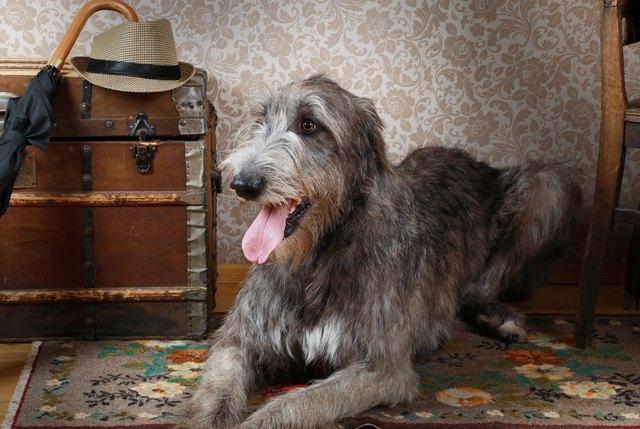 History Of The Irish Wolfhound Cuteness
