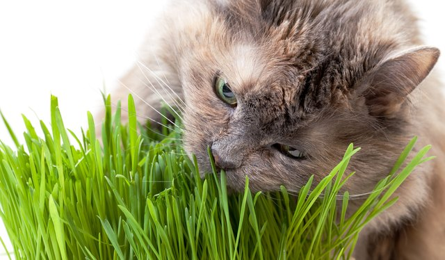 pet cat eating fresh grass