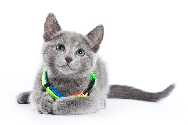Fluffy Gray Kitten Of A Russian Blue Cat In Collar Isolated On White