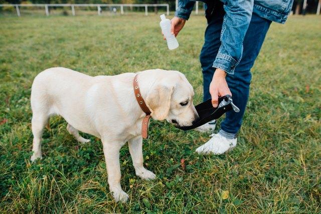 Собака лабрадор пьет воду из пьющих