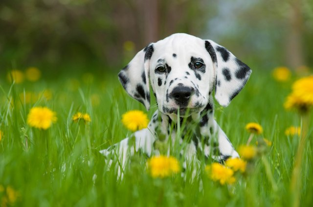 One Dalmatian puppy in a field with yellow flowers