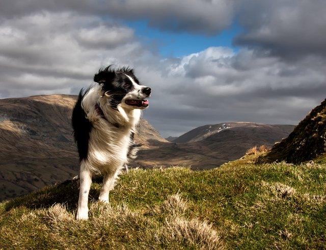 Border Collie on a Mountain