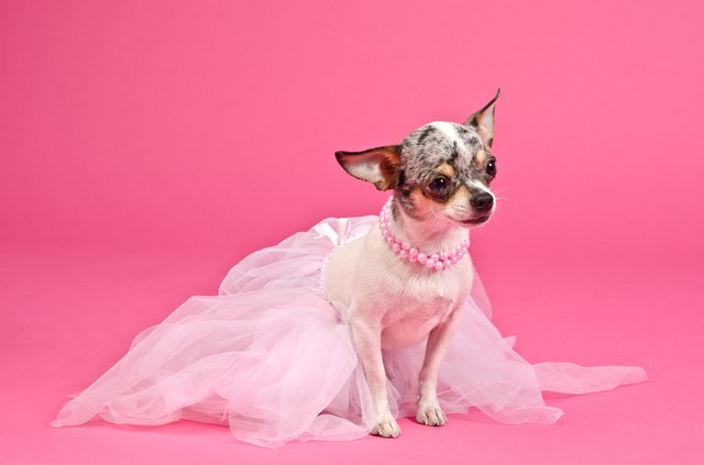 Elegant dog wearing fluffy dress and neckwear