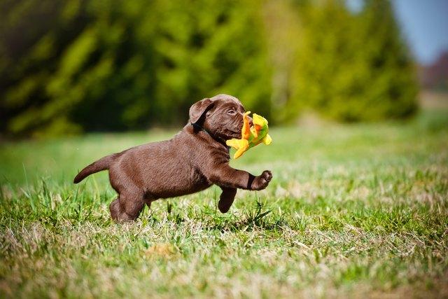 adorable brown labdaro retriever puppy