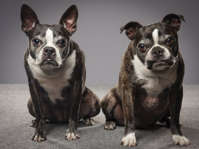 Purebred Boston Terrier Dogs
