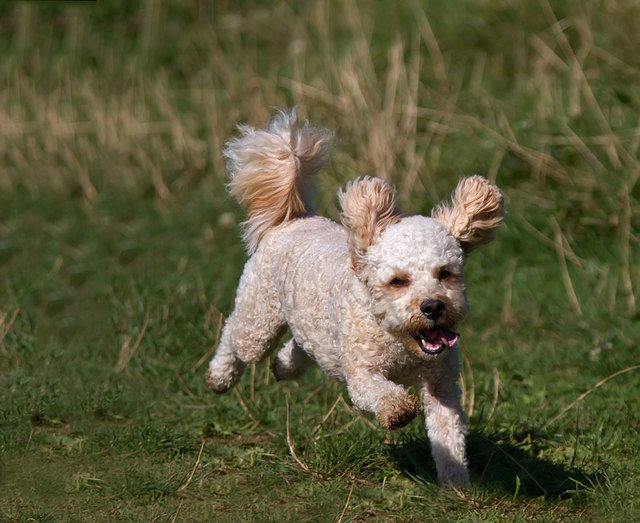Full Length Of Puppy Running On Grassy Field
