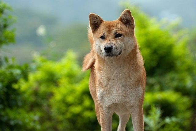 Shiba Inu dog fixating on something it sees