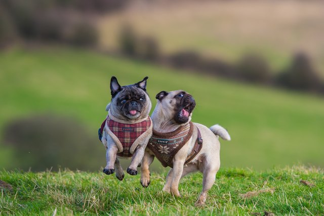 Two Pugs playing together