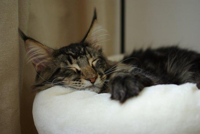 Maine coon cat sleeping