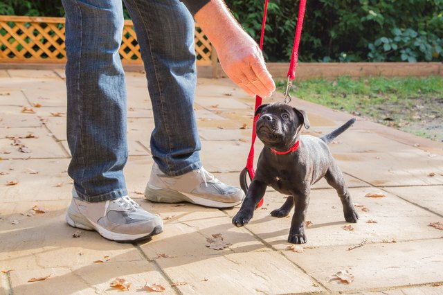 Cute Staffordshire Bull Terrier puppy training on a red leash.