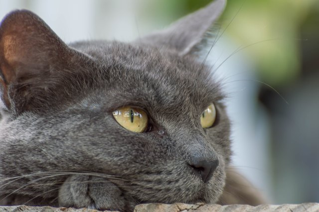 Close Up Of Russian Blue Cat
