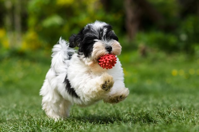 havanese dog breed facts information cuteness