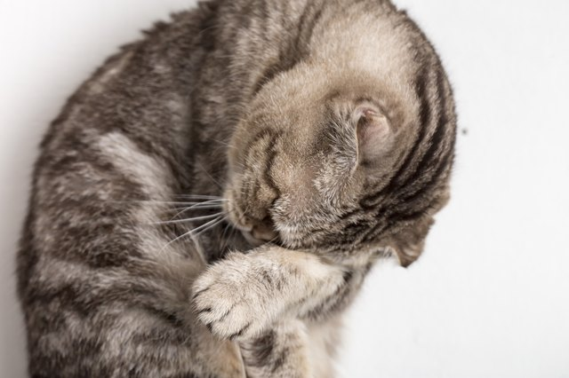Cute sad cat Scottish Fold makes facepalm movement. Close
