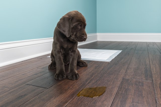 Does Vinegar Kill Dog Urine Odor In Hardwood Floors Cuteness