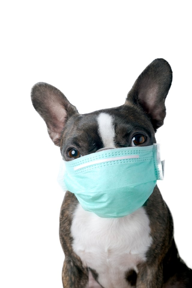 Portrait of boston terrier with medical mask