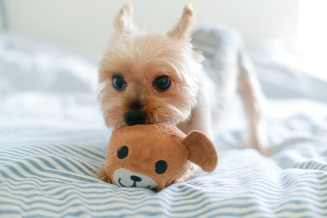 Yorkie playing with teddy toy