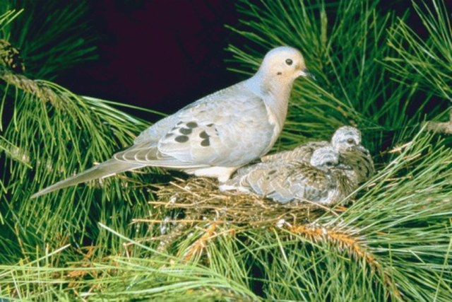 how to take care of dove eggs