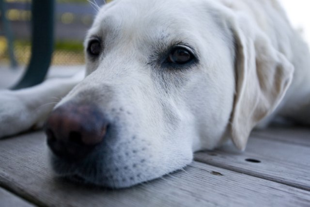 Home Remedy For Dog Eye Cold