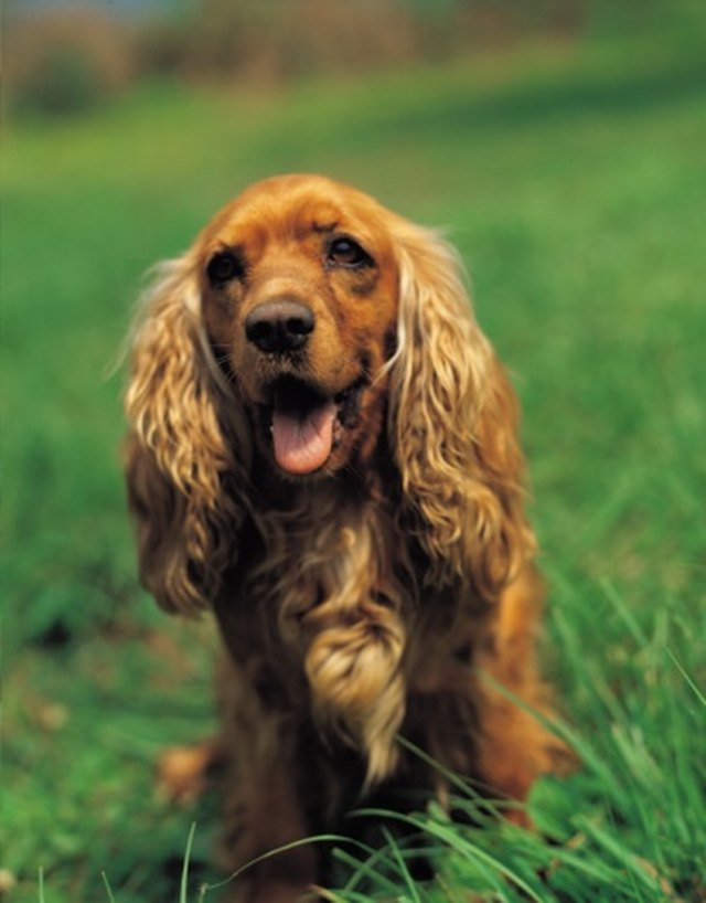 how to clean dog ears with yeast infection