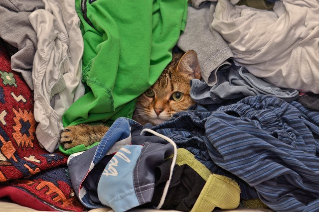 Portrait Of Tabby Cat Hiding Amidst Clothes