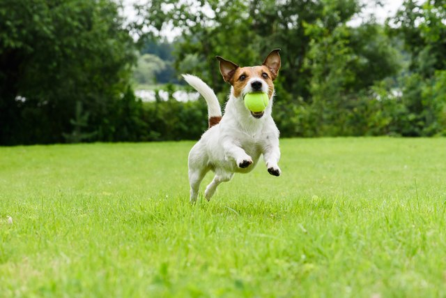 Dog running with tennis ball in mouth on camera